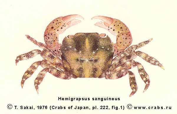 characteristics of the crab hemigrapsus sanguineus The purpose of this study was to quantify autotomy patterns in the asian shore crab hemigrapsus sanguineus  two characteristics of autotomy differed between h.